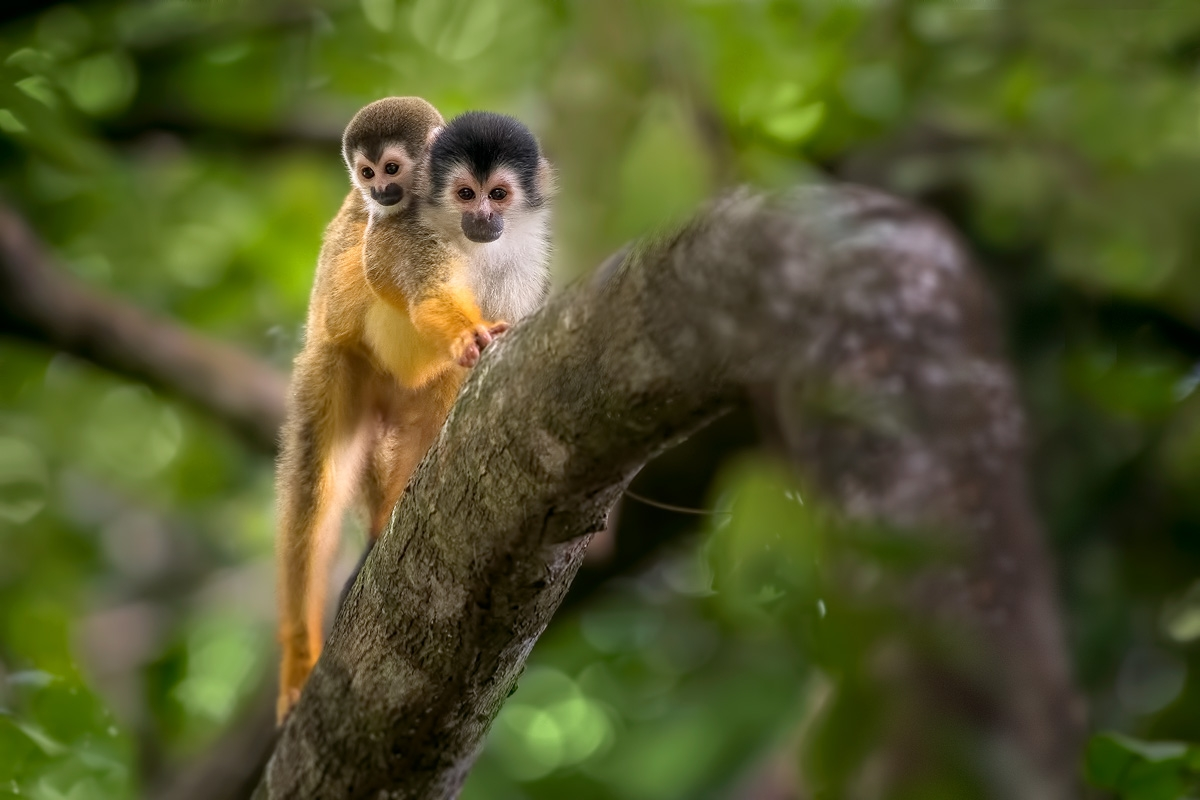 squirrel-monkey-with-baby